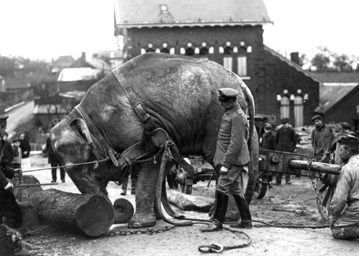 A német elefánt munka közben, 1915. március. Forrás: Nationaal Archief