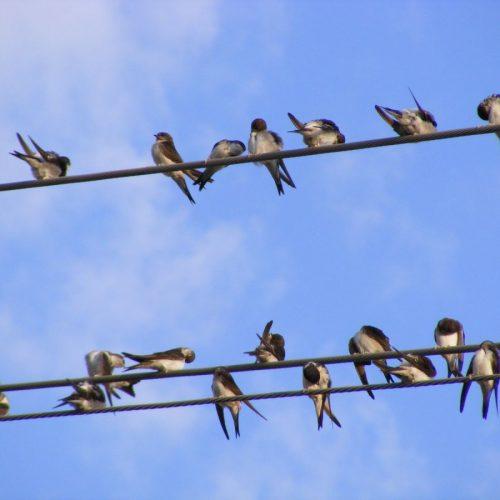 Fecskék a fedélzeten, avagy madármentés felsőfokon